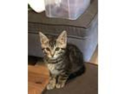 Adopt RICOTTA a Domestic Short Hair