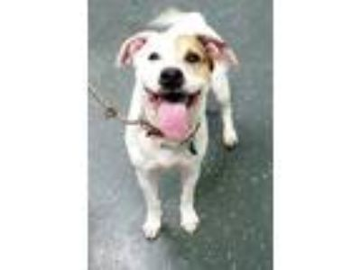 Adopt JEWELS 38115 a American Staffordshire Terrier