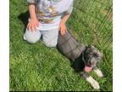 Adopt Piggie a Gray/Silver/Salt & Pepper - with White Pit Bull Terrier / Mixed