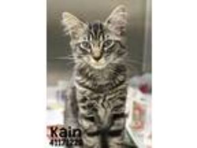 Adopt Kain-Foster hero needed URI a All Black Domestic Shorthair / Domestic