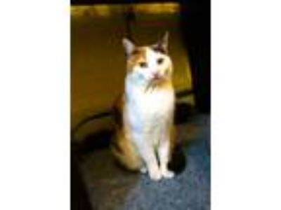 Adopt Tanya a Calico or Dilute Calico Domestic Shorthair (short coat) cat in New