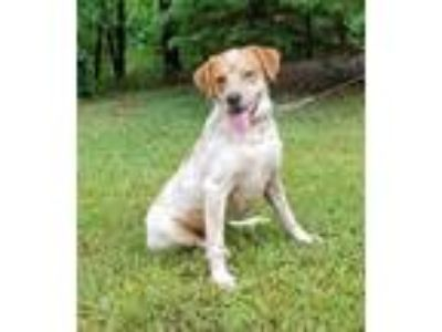 Adopt Kip a White - with Red, Golden, Orange or Chestnut Hound (Unknown Type) /