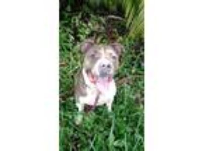 Adopt Tyson a Staffordshire Bull Terrier