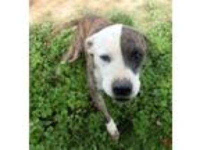 Adopt Diva a Pit Bull Terrier