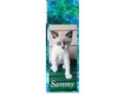 Adopt Sammy a Cream or Ivory Snowshoe / Domestic Shorthair / Mixed cat in