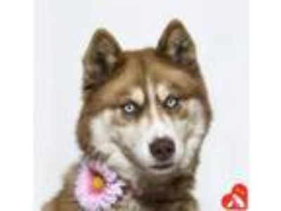 Adopt Lucy a Siberian Husky, Mixed Breed