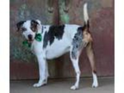 Adopt Reeses a Catahoula Leopard Dog / Mixed dog in Bardstown, KY (19415620)