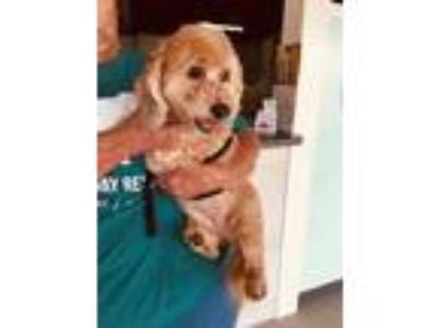 Adopt Jackie a Red/Golden/Orange/Chestnut Poodle (Miniature) / Dachshund / Mixed