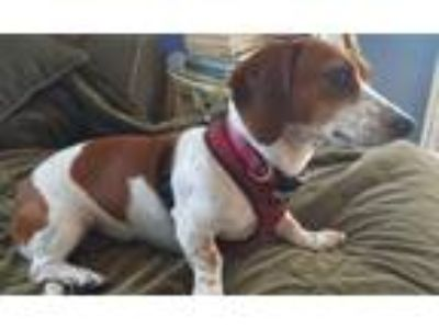 Adopt Daisy a Red/Golden/Orange/Chestnut - with White Dachshund / Mixed dog in