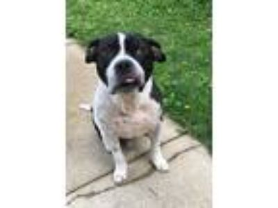 Adopt Petey a White - with Black American Staffordshire Terrier / Mixed dog in