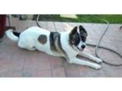 Adopt Makita a Tricolor (Tan/Brown & Black & White) Akita / Mixed dog in