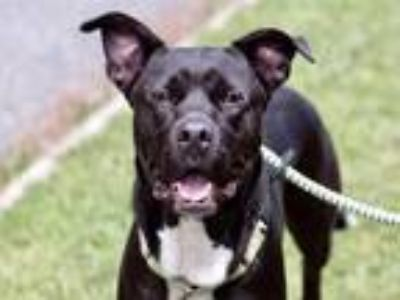 Adopt Bandit aka Kona a Pit Bull Terrier / Labrador Retriever / Mixed dog in