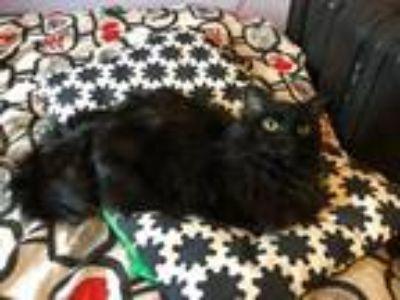 Adopt Tabitha a All Black Domestic Mediumhair / Mixed cat in Salt Lake City