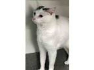 Adopt Lola a White (Mostly) Domestic Shorthair (short coat) cat in Channahon