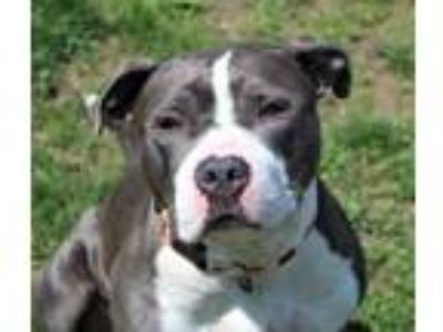 Adopt Venus a Pit Bull Terrier, Mixed Breed