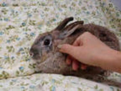 Adopt LOUISE a Tan Other/Unknown / Mixed rabbit in Los Angeles, CA (25686546)