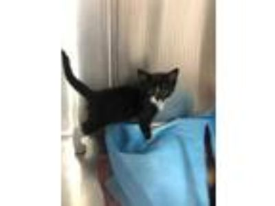 Adopt Skewer a All Black Domestic Shorthair / Domestic Shorthair / Mixed cat in