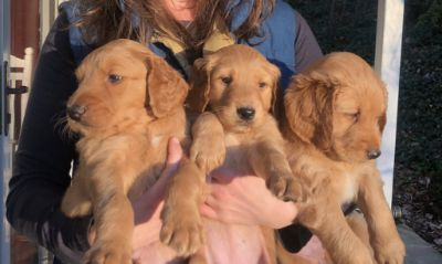 Goldendoodle PUPPY FOR SALE ADN-108583 - Goldendoodle Pups Ready Now