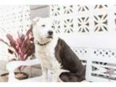 Adopt Betty a Black - with White Pointer / Border Collie / Mixed dog in