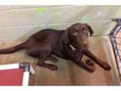 Adopt Bentley a Chocolate Labrador Retriever