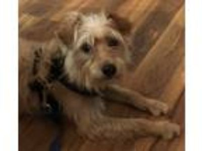 Adopt Pepper a Wirehaired Terrier