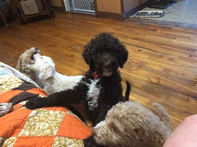 Poodle (Standard) PUPPY FOR SALE ADN-87067 - 10 Beautiful Babies