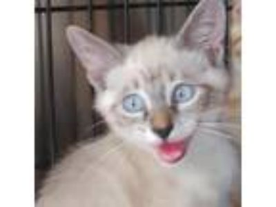 Adopt Paxton a White Tonkinese cat in League City, TX (25572042)
