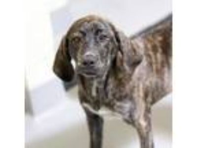 Adopt Tulip a Brindle Plott Hound / Mixed dog in Atlanta, GA (25282380)