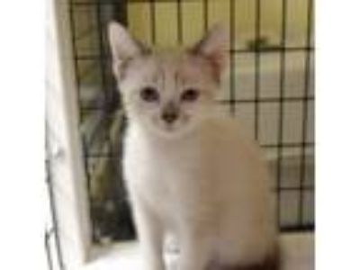 Adopt Opal a Siamese, Domestic Short Hair