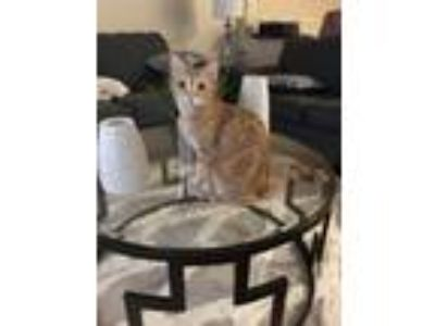 Adopt Princess a Orange or Red Domestic Shorthair cat in Oceanside