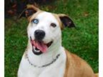 Adopt Claire a Catahoula Leopard Dog