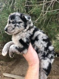 Puppies Available - Classifieds - Claz org