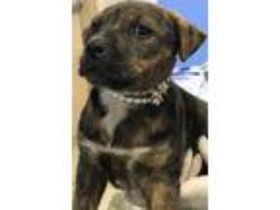 Adopt Lulu a Brindle - with White Labrador Retriever / Boxer / Mixed dog in