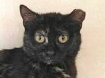 Adopt Barn Cat Temple a All Black Domestic Shorthair / Domestic Shorthair /