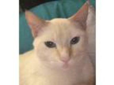Adopt Buddy a Cream or Ivory Siamese cat in Palm Beach Gardens, FL (24612983)