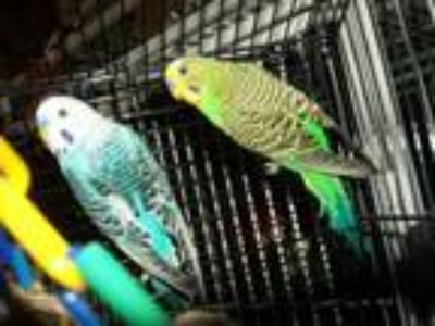 Adopt BUDGIES --Asst'd... a Parakeet (Other)