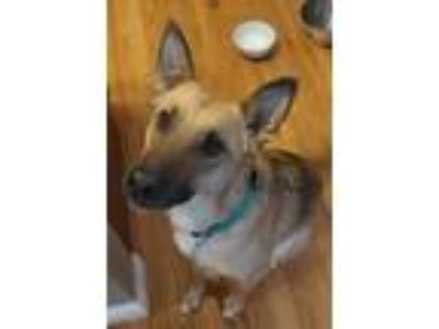 Adopt Rooster a Tricolor (Tan/Brown & Black & White) German Shepherd Dog / Mixed