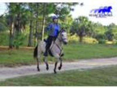 Gaited Marchador Sport Horse For Sale