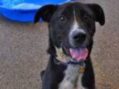 Adopt JUSTIN a Border Collie, Mixed Breed