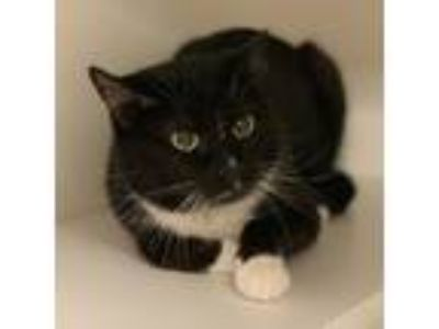 Adopt Tink Tink a All Black Domestic Shorthair / Domestic Shorthair / Mixed cat