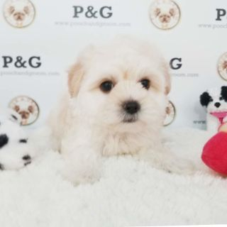 Morkie PUPPY FOR SALE ADN-104399 - MORKIE THOMAS MALE