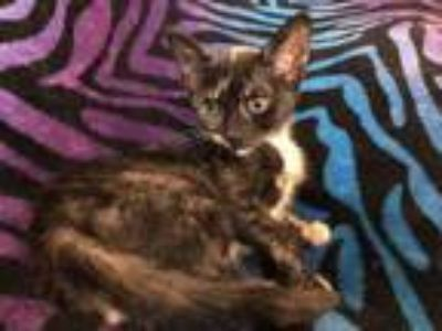 Adopt Sparkles a All Black Domestic Shorthair / Domestic Shorthair / Mixed cat