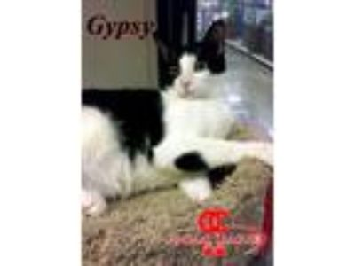 Adopt Gypsy a Domestic Short Hair, Tuxedo