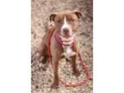 Adopt Mika a Brown/Chocolate American Pit Bull Terrier / Mixed dog in