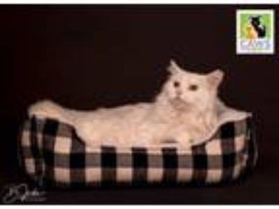 Adopt Duckie a White Domestic Longhair / Mixed cat in Salt Lake City