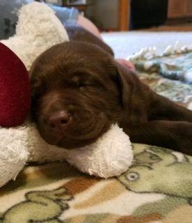 Labrador Retriever PUPPY FOR SALE ADN-89928 - Champion Sired English Chocolate Labradors