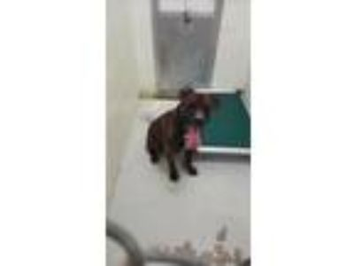 Adopt Zeus a Brindle Shar Pei / Pit Bull Terrier / Mixed dog in Mt.