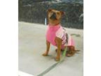 Adopt Pia a Pit Bull Terrier, Mixed Breed