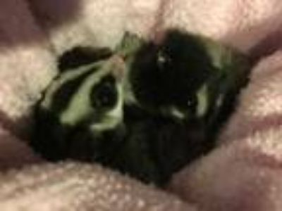 Adopt Marty (Bonded to Ventura) a Silver or Gray Sugar Glider small animal in