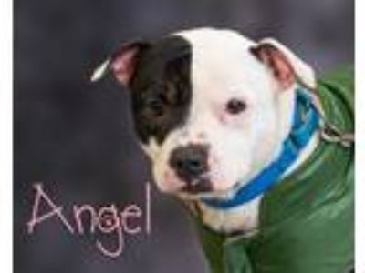 Adopt Angel a White - with Black Pit Bull Terrier / Mixed dog in Somerset